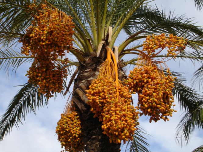 Find out why dates are so healthy and provide you with good energy