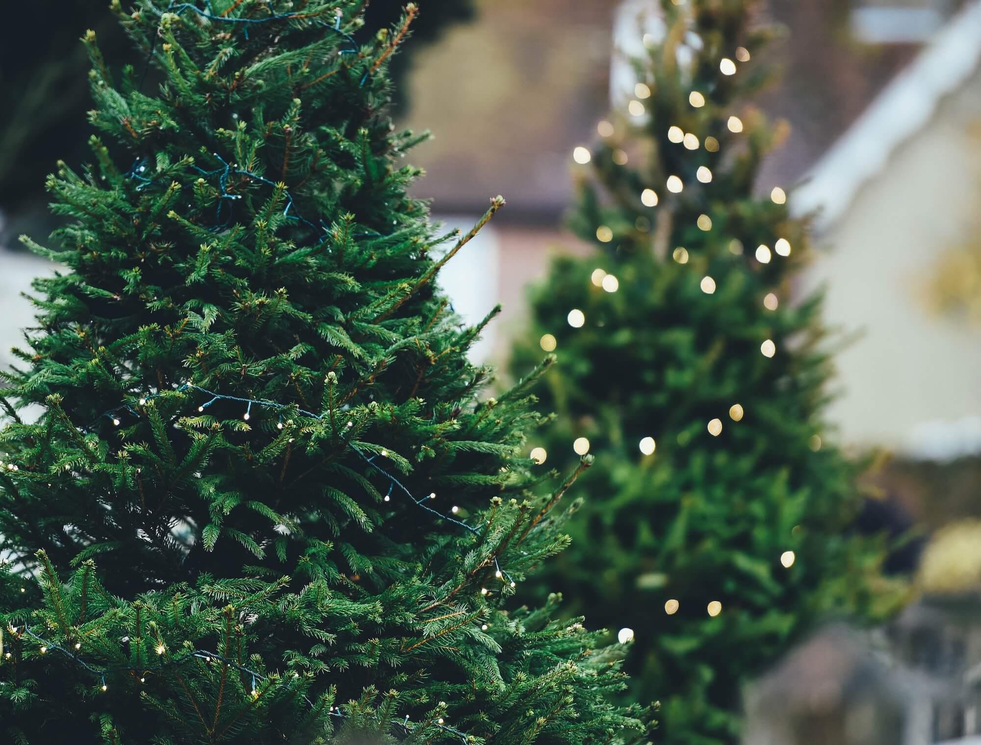 Lebender Christbaum – Nachhaltigkeit zur Weihnachtszeit